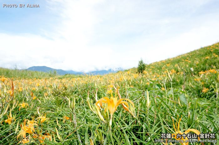 [ 遊記 ] 花蓮.六十石山 金針花 – 滿滿的金針花海 你也飛撲了嗎?! @Alina 愛琳娜 嗑美食瘋旅遊