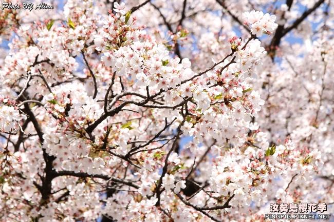 汝矣島櫻花季