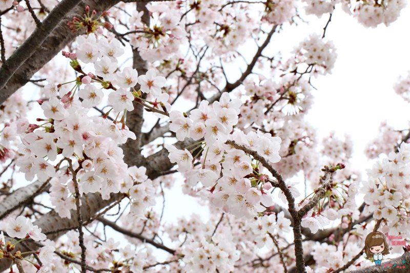 釜山自由行5天4夜 釜山櫻花行程規劃表 鎮海賞櫻好浪