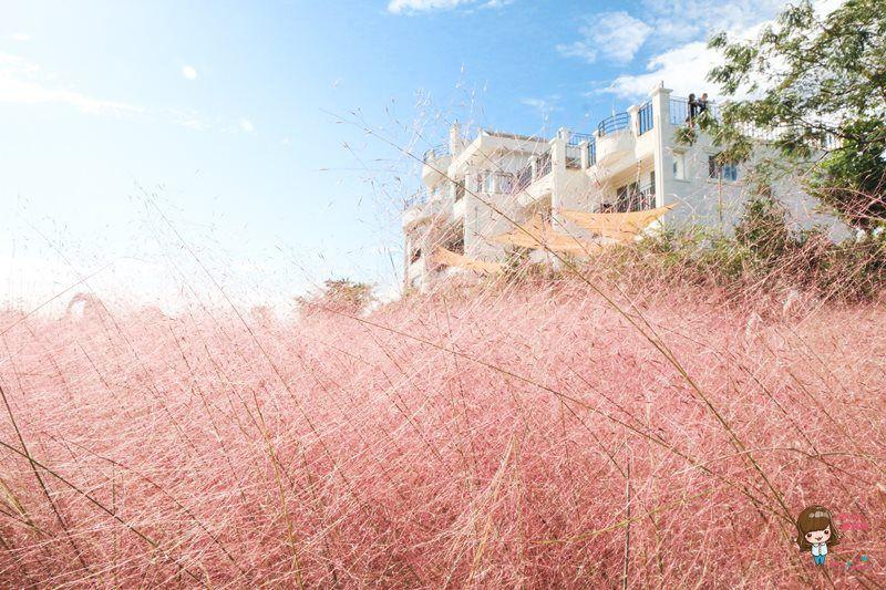 【濟州島美景】西歸浦 粉紅亂子草 咖啡館 Manon Blanc 夢幻粉紅色芒草隨風搖曳