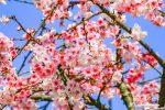 網站近期文章:【台北賞櫻景點】 東湖櫻花林 樂活公園|內湖日夜櫻季粉嫩櫻花美