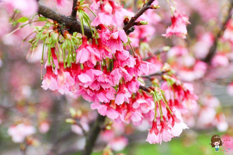 【台北賞櫻景點】 東湖櫻花林 樂活公園 內湖日夜櫻季 感受粉嫩櫻花的美