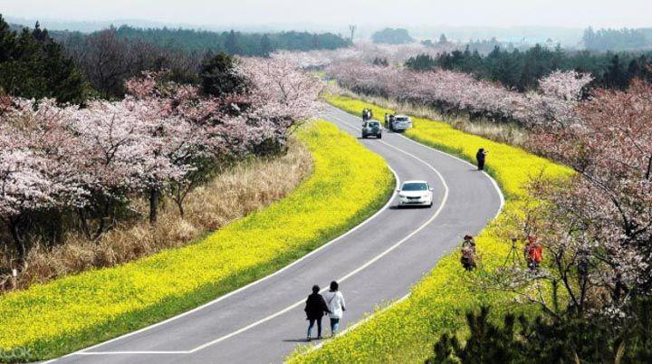 濟州島景點推薦 鹿山路油菜花櫻花路