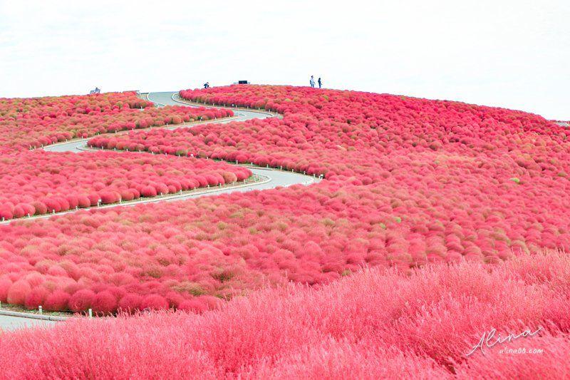 茨城掃帚草 見晴之丘
