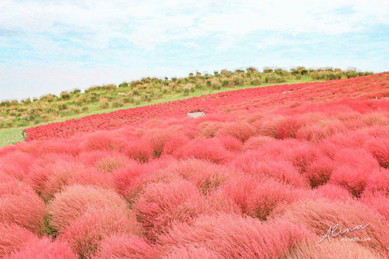 日本秋天景點 紅色掃帚草
