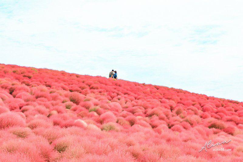 東京出發茨城一日遊 掃帚草嘉年華