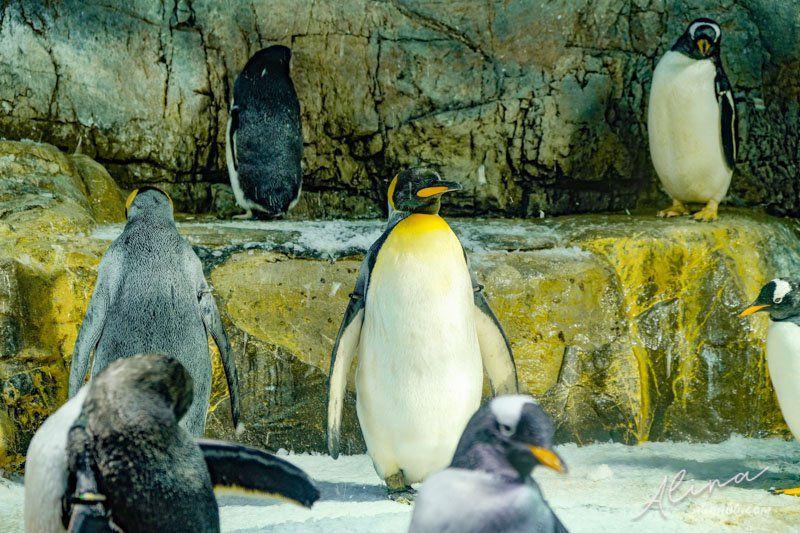 大阪海遊館 國王企鵝