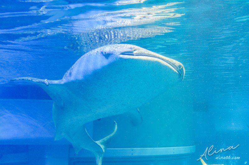 大阪海遊館 鯨鯊