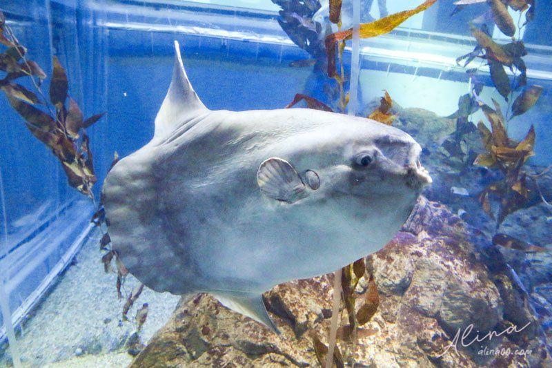 大阪海遊館 翻車魚