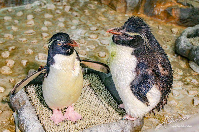冠企鵝屬企鵝