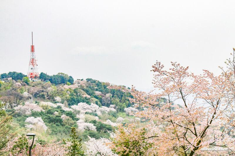 首爾塔櫻花