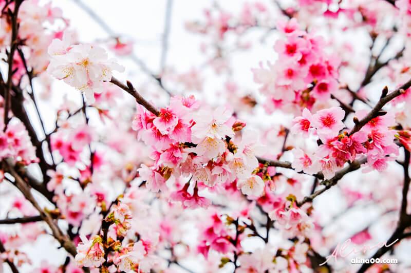 東湖樂活公園 櫻花季
