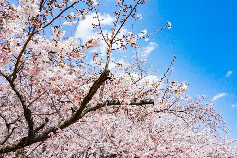 釜山櫻花 景點推薦