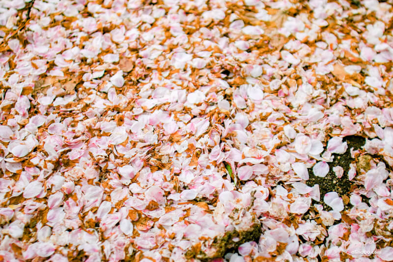首爾大公園櫻花