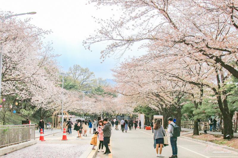 韓國京畿道櫻花景點 賽馬公園