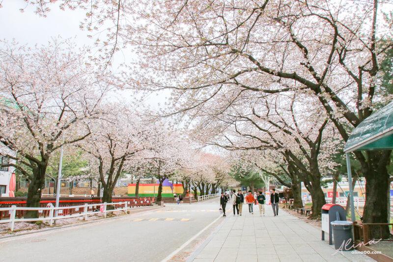 首爾櫻花景點 京畿道賽馬公園