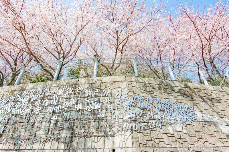 釜山櫻花 甘川洞文化村