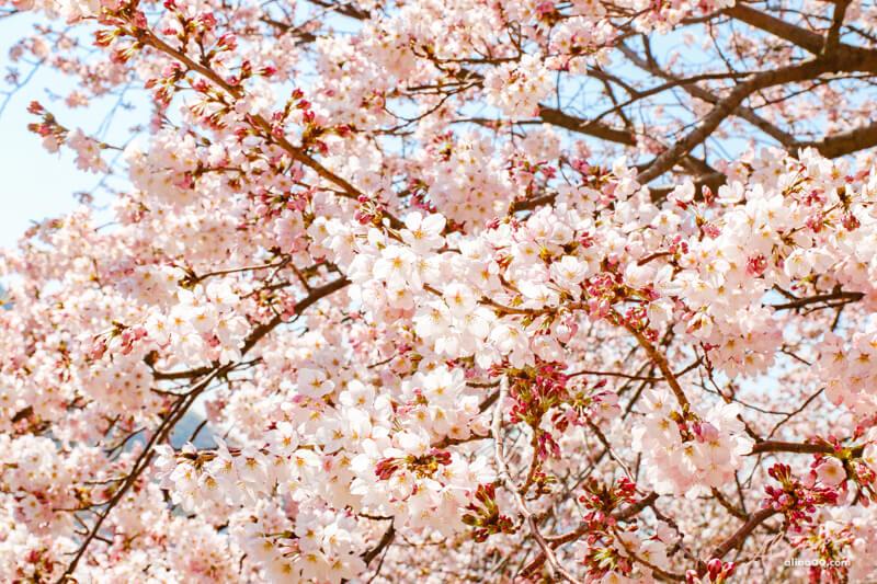 釜山櫻花景點