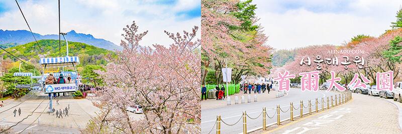 首爾櫻花景點 首爾大公園