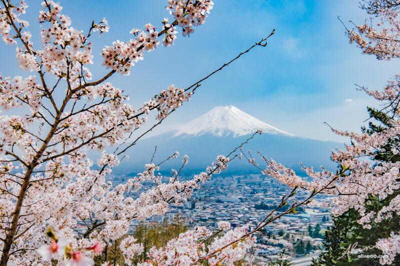 日本富士山櫻花景點
