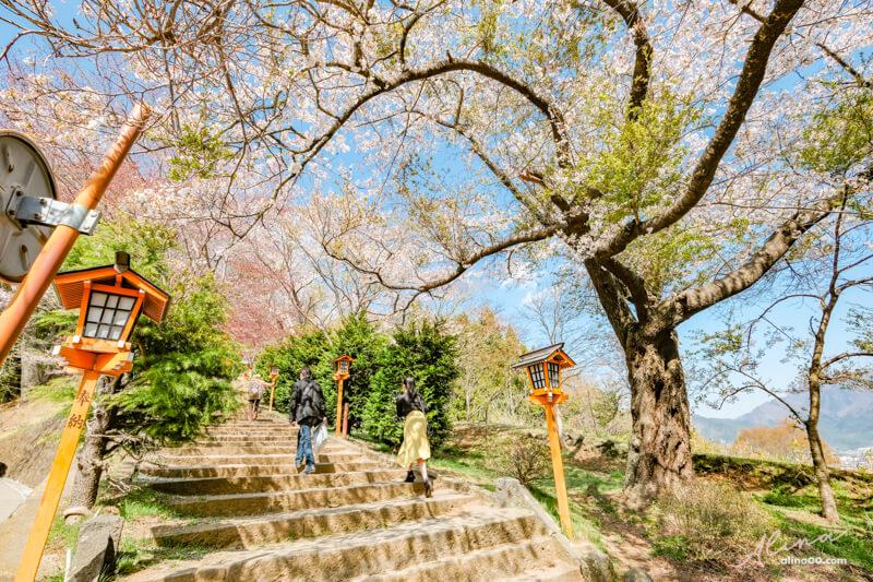 富士山櫻花