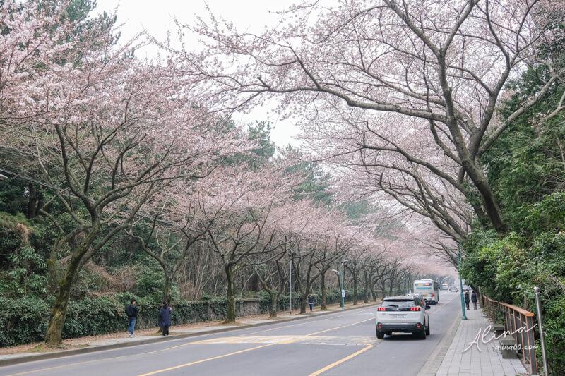 濟州島櫻花一日遊 濟州大學櫻花路