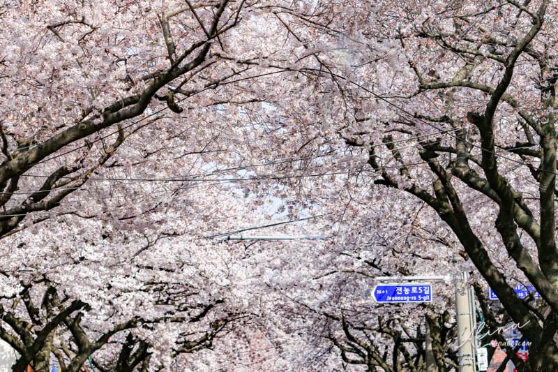 濟州王櫻花節