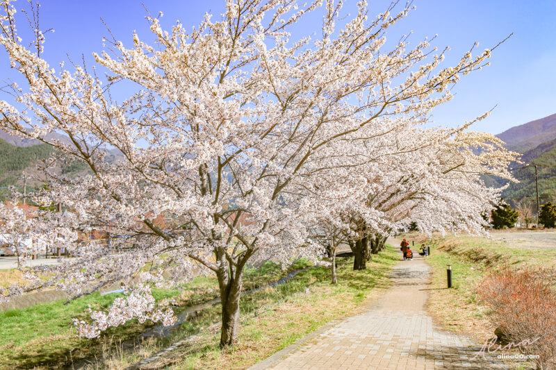 富士山河口湖櫻花