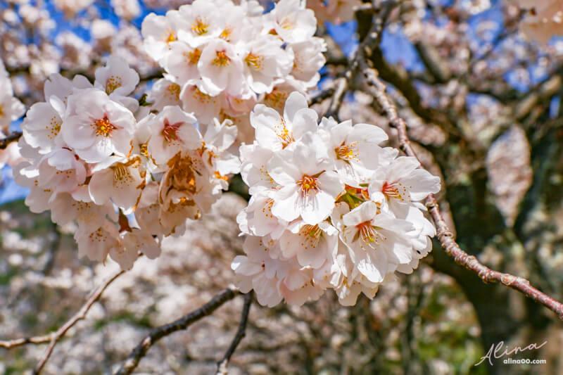富士山 河口湖 櫻花