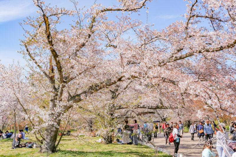 京都府立植物園櫻花