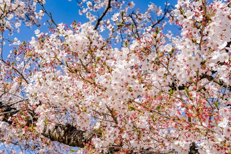 京都櫻花景點