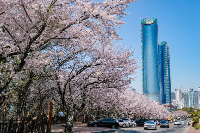 釜山櫻花一日遊 海雲台迎月路