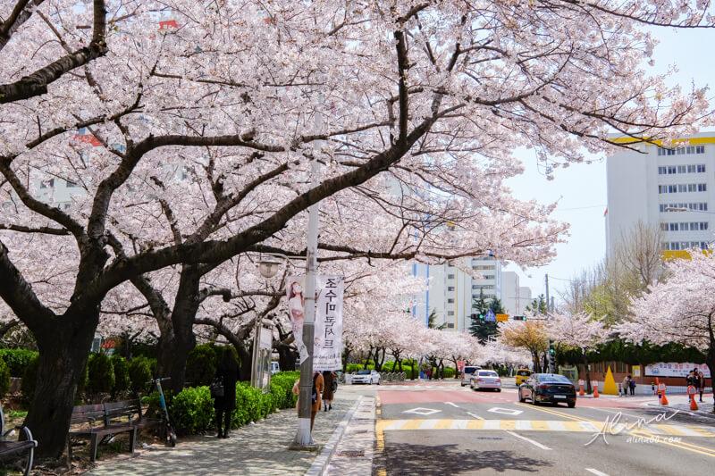 釜山櫻花一日遊 南川洞櫻花路