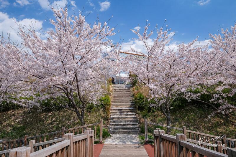 釜山櫻花一日遊 影島東三洞