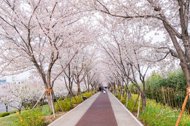 大渚生態公園櫻花