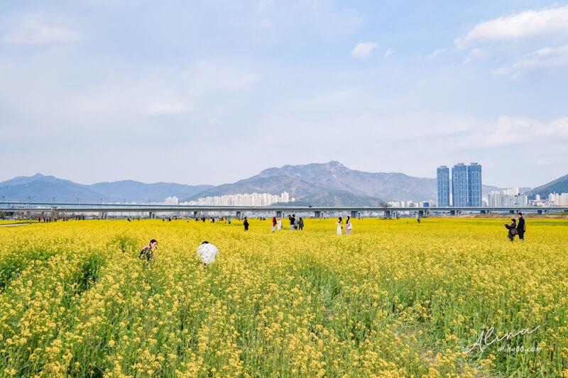 大渚生態公園油菜花