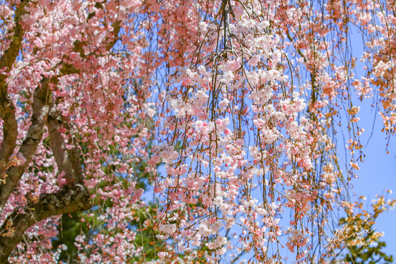 京都櫻花景點一日遊