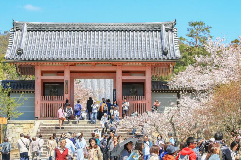 京都仁和寺櫻花
