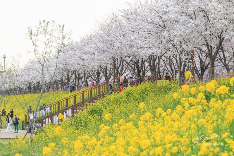 釜山櫻花一日遊 大渚生態公園