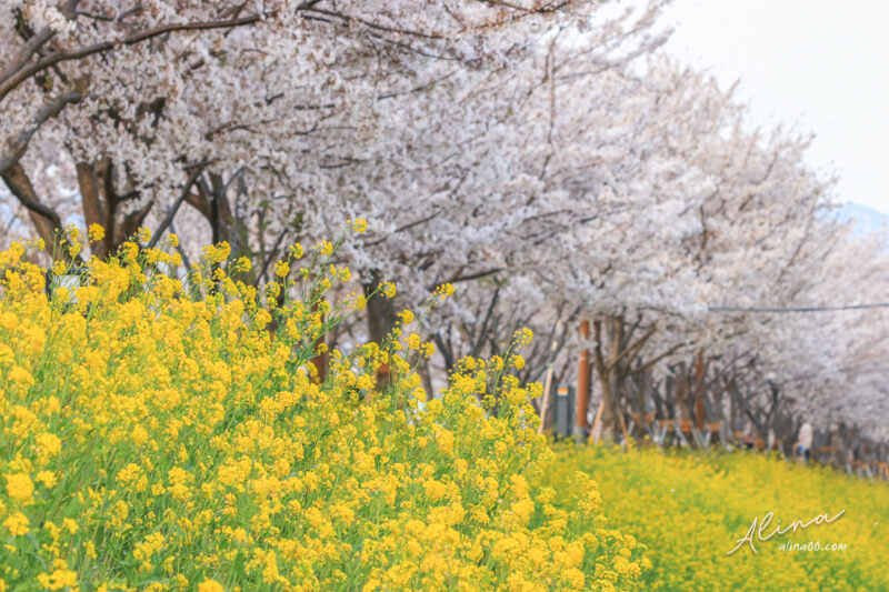 釜山櫻花一日遊