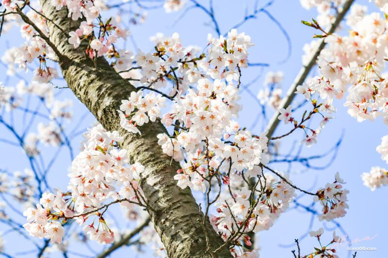 慶州櫻花景點