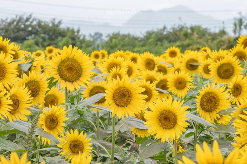 神奈川景點 座間ひまわり畑