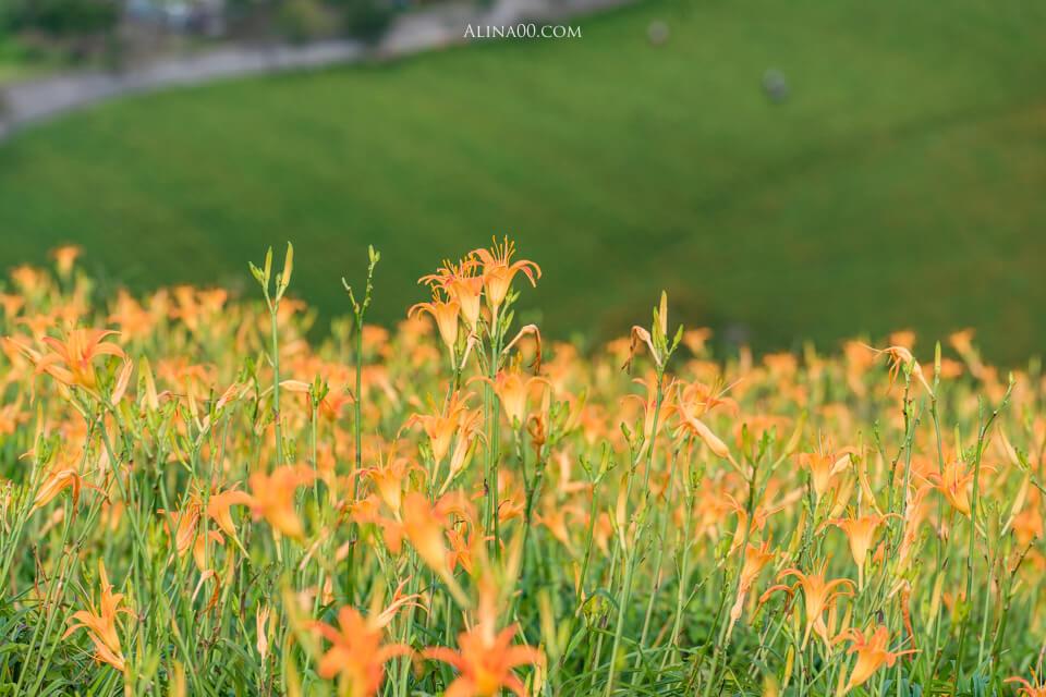 花蓮金針花