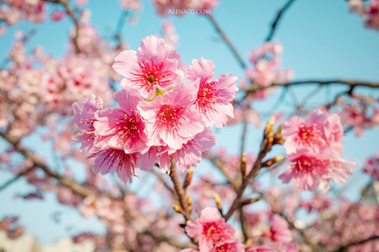 東湖櫻花季