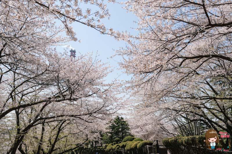 韓國首爾近郊櫻花景點
