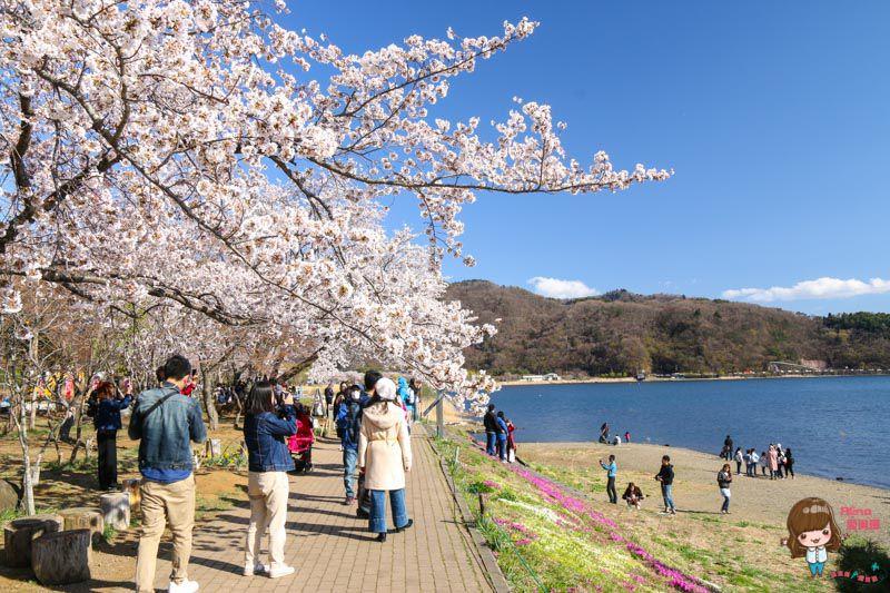 富士山櫻花季