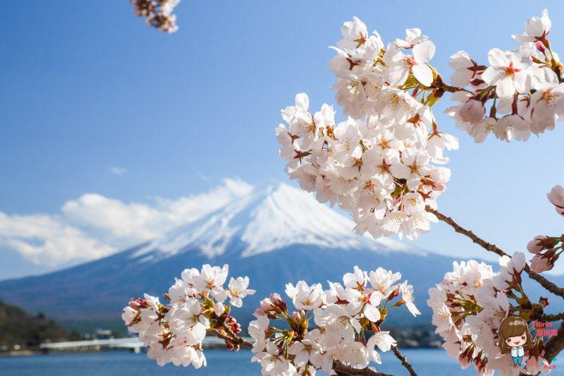 富士山河口湖賞櫻一日遊