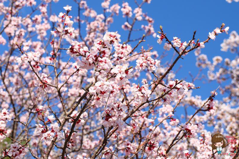 富士山山中湖櫻花慶典