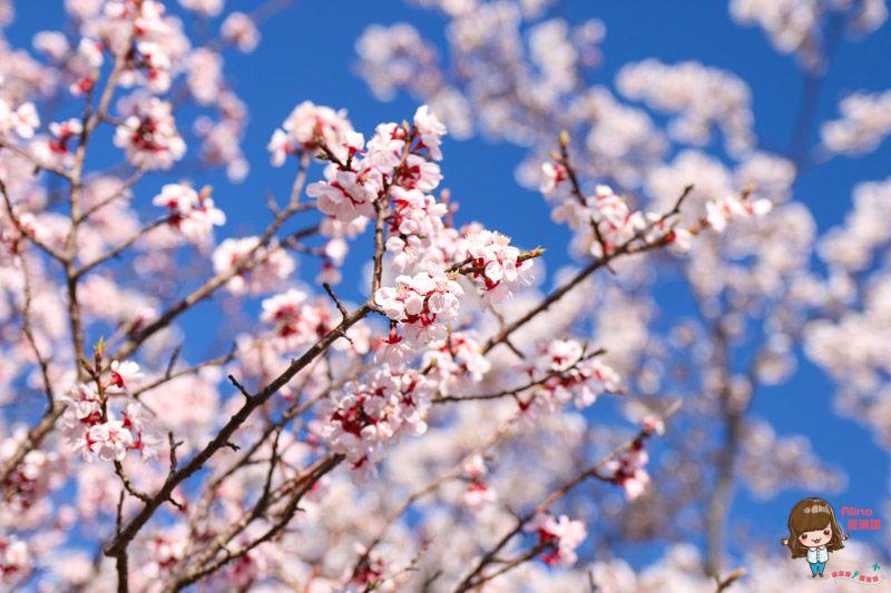 山中湖櫻花季