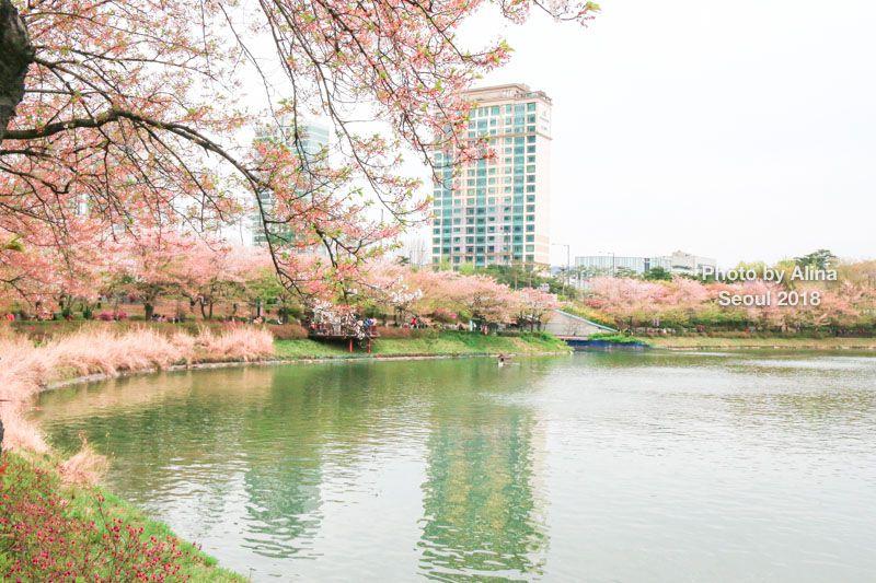 石村湖櫻花